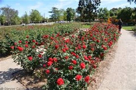 Roses in Benalla Botanical Gardens