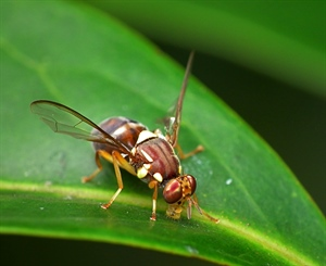 Queensland_Fruit_Fly_-_Bactrocera_tryoni.jpg
